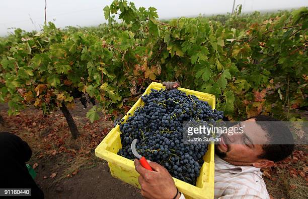 Vineyard worker Jimmy Guzman lifts a bucket of zinfandel grapes before dumping them into a bin while harvesting grapes at Tres Sabores Winery...