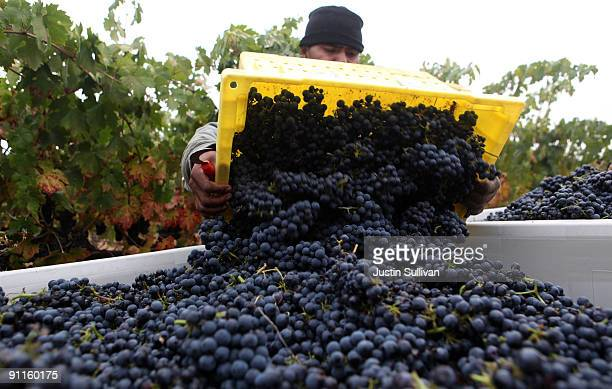 Vineyard worker Juan Gutierez dumps a bucket of zinfandel grapes into a bin while harvesting grapes at Tres Sabores Winery September 25 2009 in St...