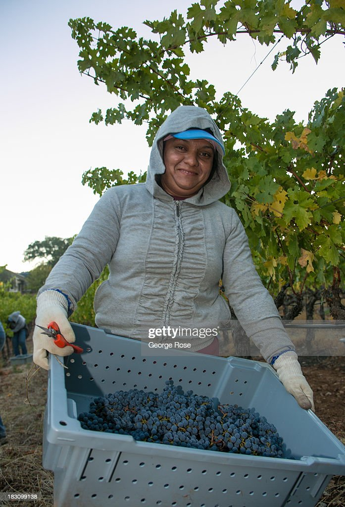 A vineyard worker picks cabernet sauvignon grapes on September 27, 2013 in Napa Valley, California. Warm, sunny skies are helping vintners realize, for the second year in a row, a large crop with potential global sales of $12 billion.