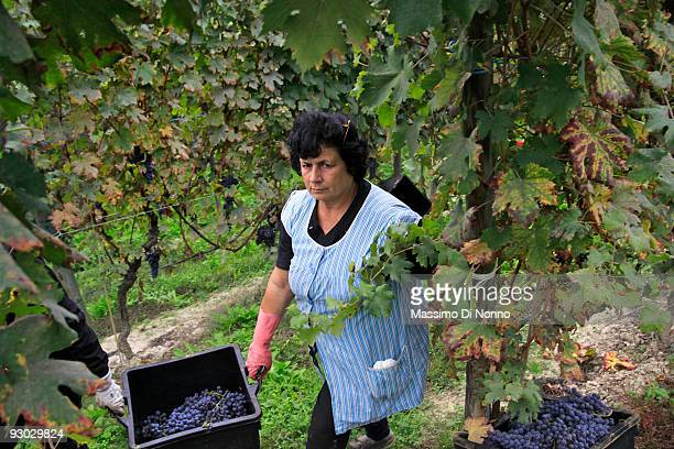 Vineyard workers hold a bin filled with ripe clusters of Nebbiolo grape on October 6 2009 in Novello near Cuneo Italy Barolo wine is produced in...