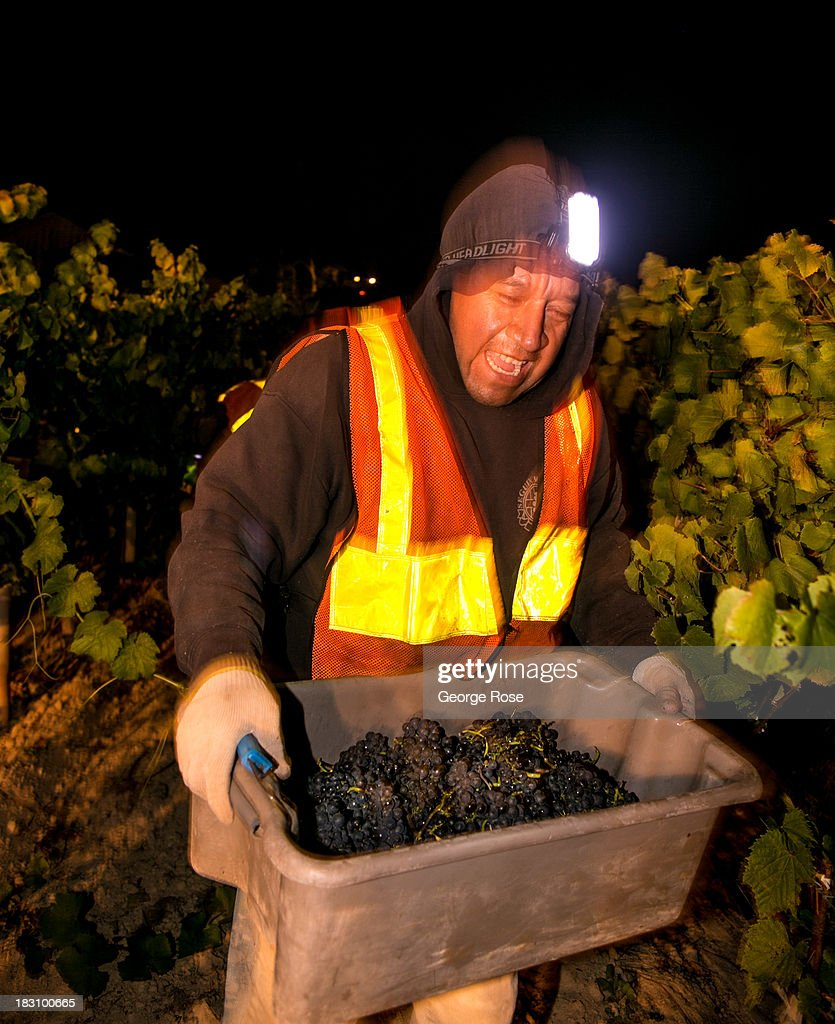 Vineyard workers in the Russian River Valley scramble to harvest pinot noir grapes under lights in the early morning hours of September 26, 2013 near Healdsburg, California. Warm, sunny skies are helping vintners realize, for the second year in a row, a large crop with potential global sales of $12 billion.