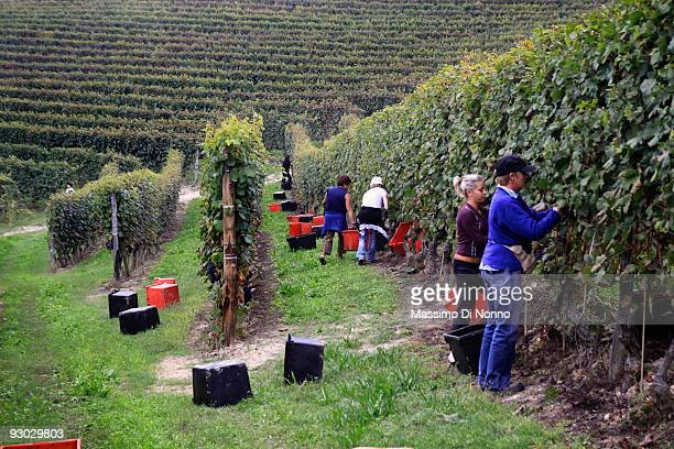 Vineyard workers pick ripe clusters of Nebbiolo grape on October 6 2009 in Novello near Cuneo Italy Barolo wine is produced in Cuneo province within...