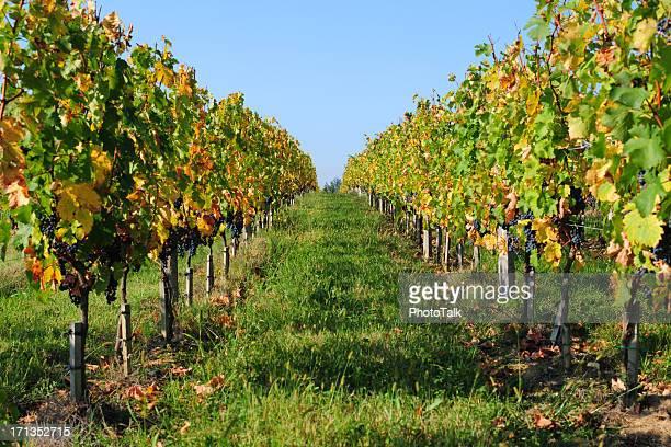 Vineyard - XLarge