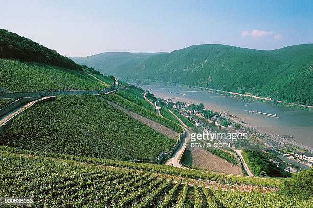 Vineyards along the Rhine river Hesse Germany