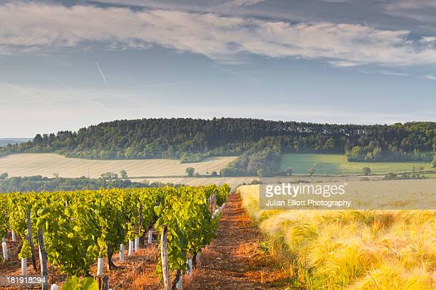 Vineyards and a field of wheat near to Vezelay.