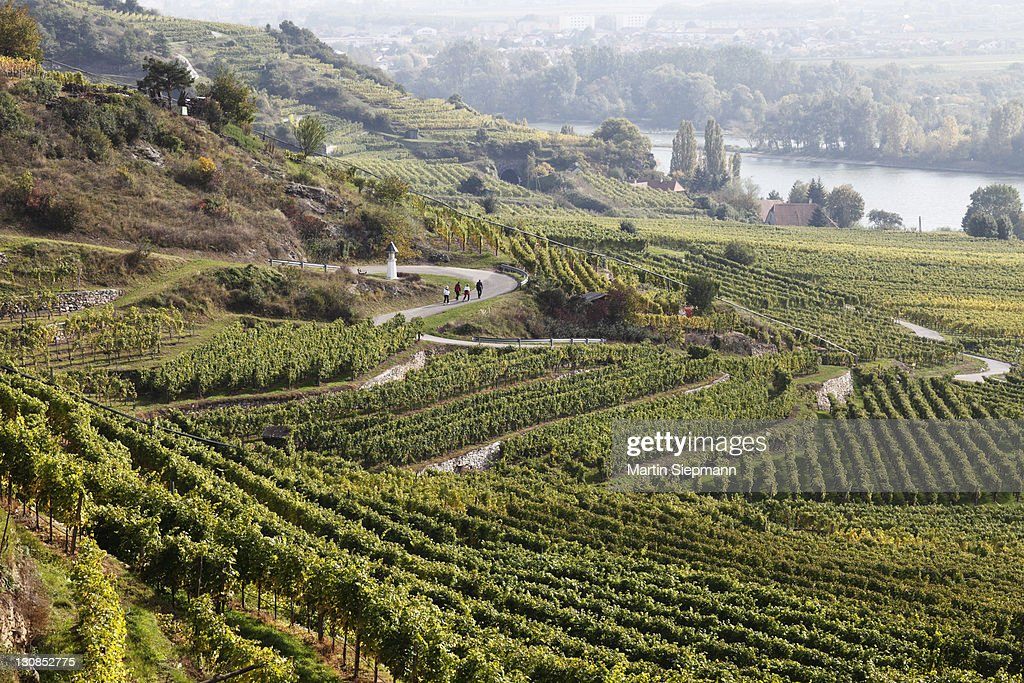Vineyards and hiking trails on Loibenberg in front of Pfaffenberg and the Danube River, Wachau, Waldviertel, Forest Quarter, Lower Austria, Austria, Europe