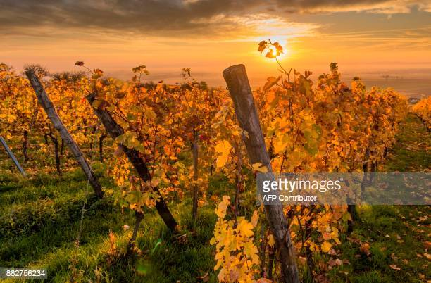 Vineyards are pictured at sunrise in the Alsatian village of Nordheim northeastern France on October 18 2017 / AFP PHOTO / PATRICK HERTZOG