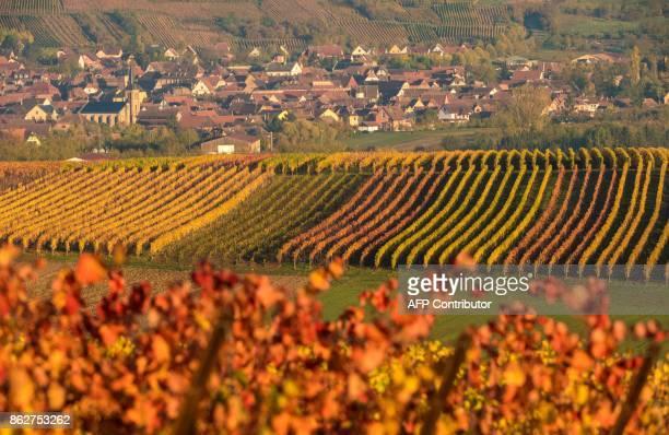 Vineyards are pictured under the Autumn sun in the Alsatian village of Traenheim northeastern France on October 18 2017 / AFP PHOTO / PATRICK HERTZOG