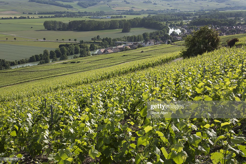 Vineyards at Hautvillers - France