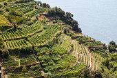 Vineyards next to the sea, Cinque Terre in Italy