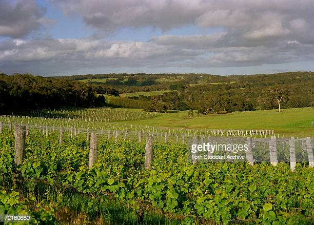 Vineyards at Margaret River in the main wine growing region of South Western Australia October 2005
