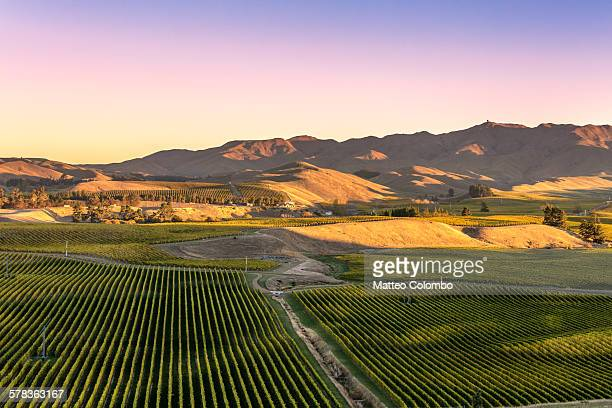 Vineyards at sunset, Marlborough, New Zealand