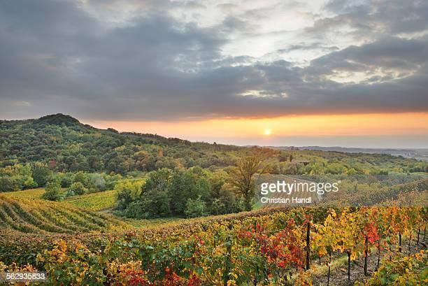 Vineyards at sunset near Cividale, Friuli, Italy, Europe