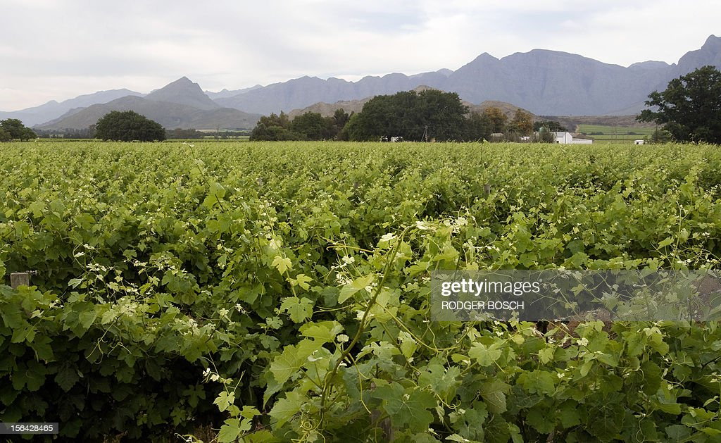 Vineyards grow close to Wolesley, a small rural town about 120Km North of Cape Town, South Africa on November 15, 2012. Striking South African farmworkers defied a government call to return to work today, with labourers now demanding action after one of their colleagues was killed yesterday in a clashes with police. Protesters insisted they would not return to the fruit growing region's farms until they received a daily wage of at least $17. AFP / RODGER