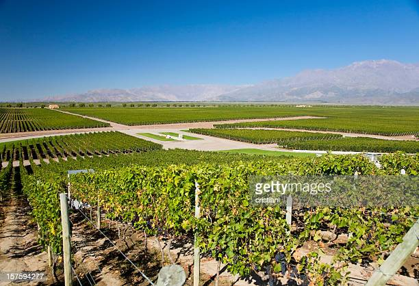 Vineyards in Argentina