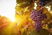 Vineyards at sunset in autumn harvest. Toned
