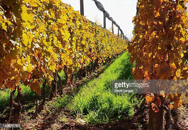 Vineyards in autumn of Mendoza, Argentina