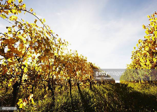 Vineyards in classic Tuscan landscape