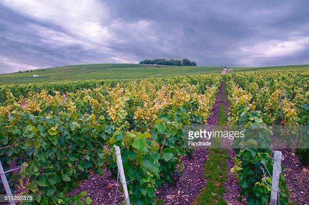 Vineyards in Epernay, France