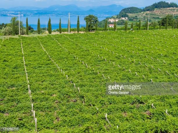 Vineyards on Lake Garda, Italy