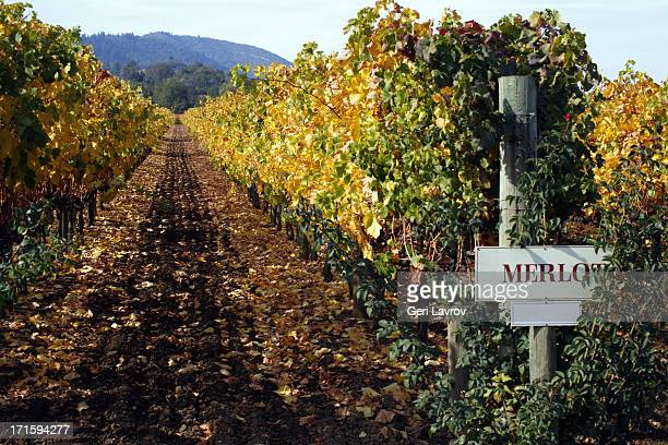 Vineyards with merlot grapes planted