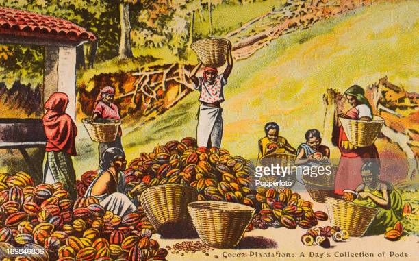 A vintage colour postcard illustration featuring native women collecting and sorting pods on a cocoa plantation circa 1890