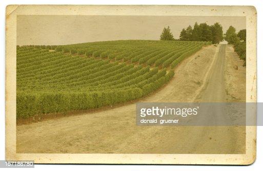 Vintage Hand-tinted photo or postcard of vineyard