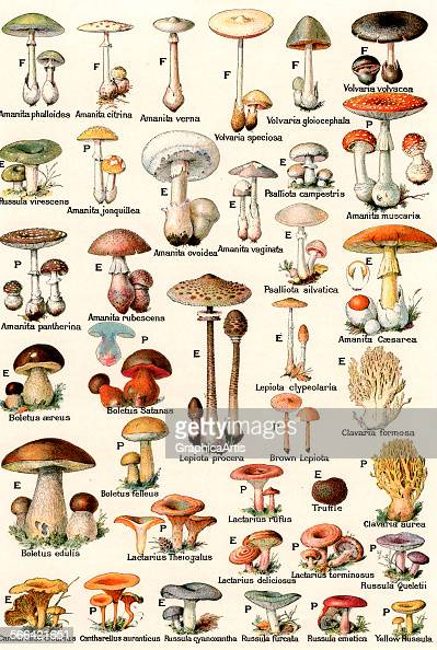 Vintage illustration of edible and poisonous mushrooms lithograph 1937