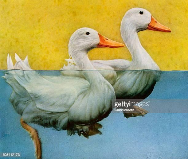 Vintage illustration of two ducks swimming seen above and below water in a cutaway view 1940 Screen print