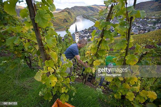 Vintage in the vineyards above the Mosel River near the village of Bremm on October 25 2013 in Bremm Germany