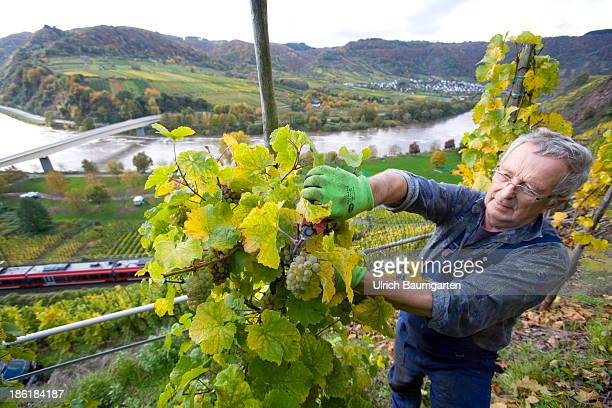 Vintage in the vineyards above the Mosel River near the village of Neefon October 25 2013 in Neef Germany