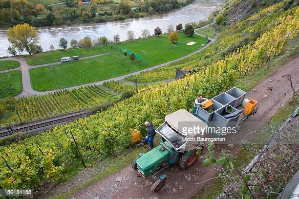 Vintage in the vineyards above the Mosel River near the village of Neef on October 25 2013 in Neef Germany