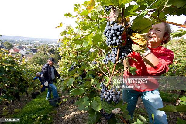 Vintage of the Dornfelder type of wine on a vineyard on October 02 2013 in Oberdollendorf near Koenigswinter Germany