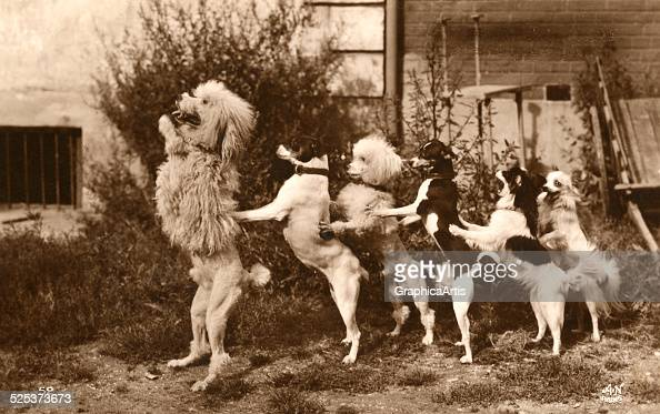 Vintage photograph of a row of trained circus dogs dancing the conga line sepia tone silver print 1912