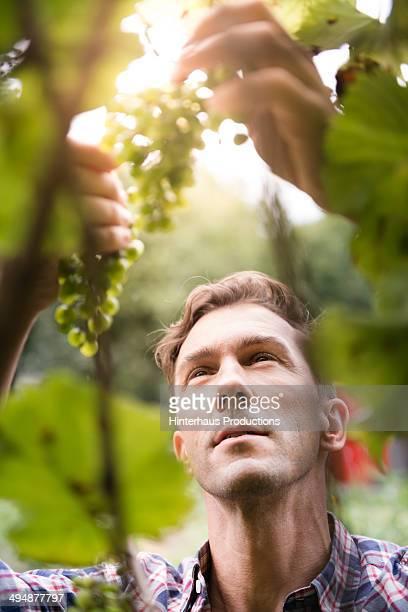 Vintner Checking Vine Grapes