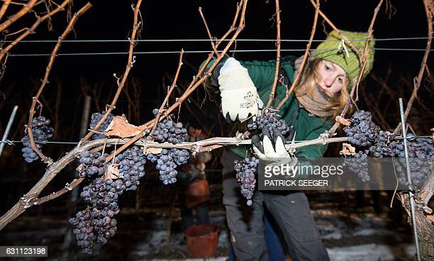 A vintner gathers grapes at a vineyard in Kiechlinsbergen southern Germany on January 7 2017 The frozen grapes are gathered to produce the dessert...