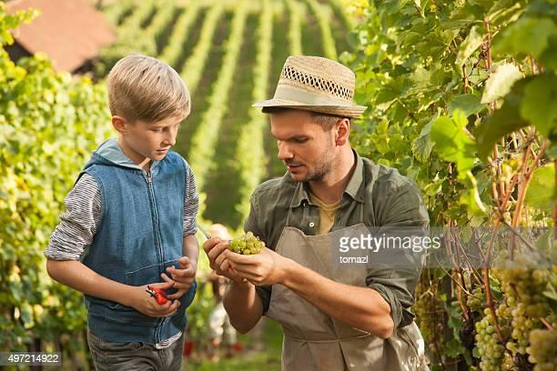 Le Vintner enseigner son fils de raisin