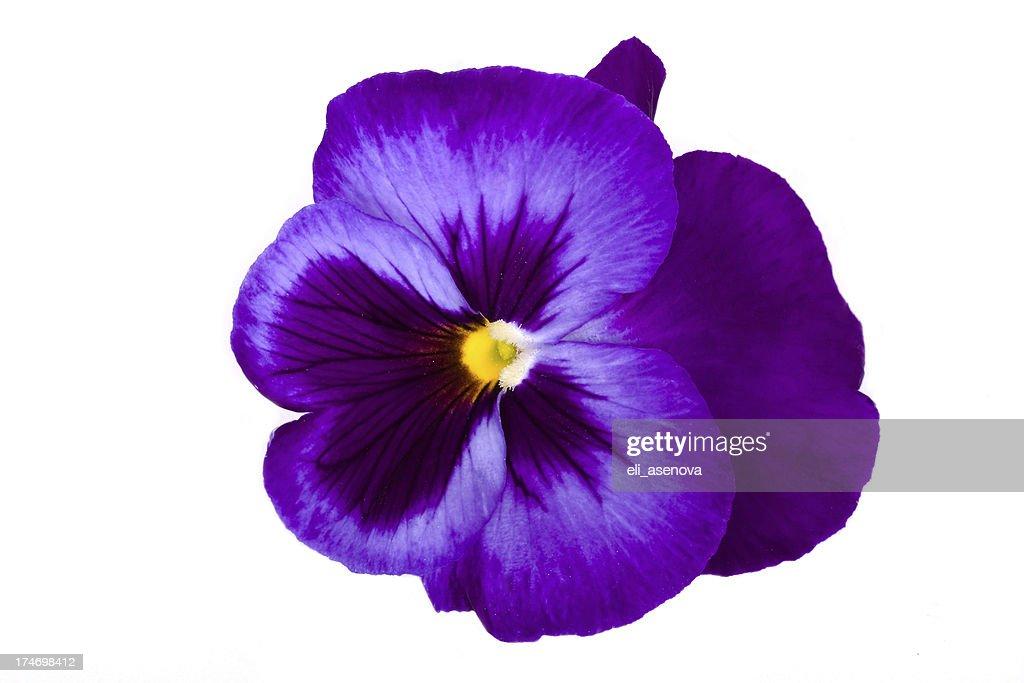 Viola/Pansy