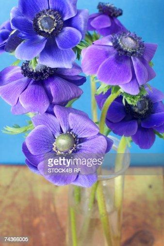 Violet anemones