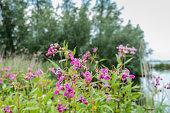 Closeup of pink flowering Policeman's Helmet or Impatiens glandulifera plants in their natural habitat.