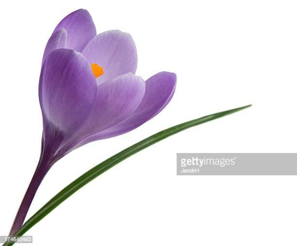 Violeta azafrán