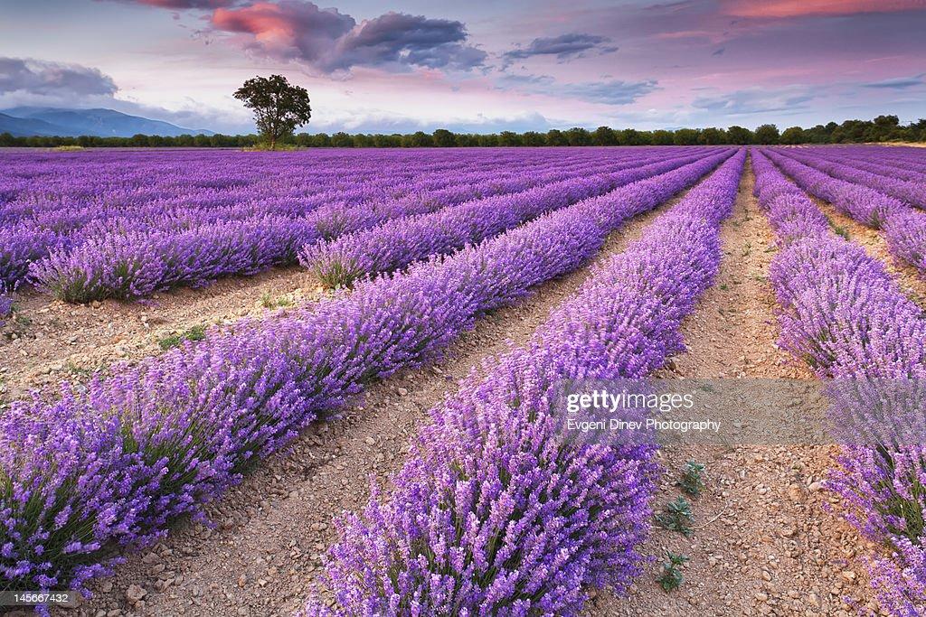 Violet dreams : Stock Photo