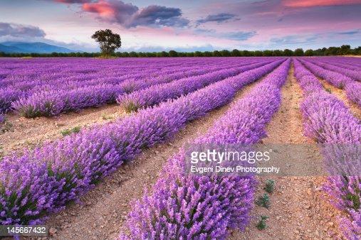 Violet dreams : ストックフォト