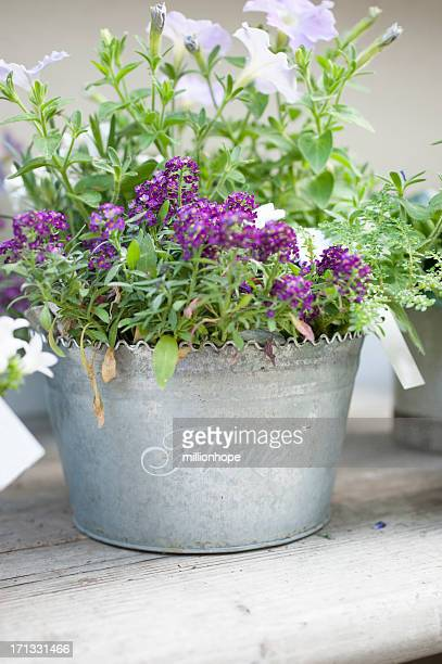 Violet Flowers in a tin can