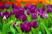 Violet flowers in the plantation park