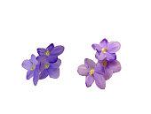 Wiolet flowers
