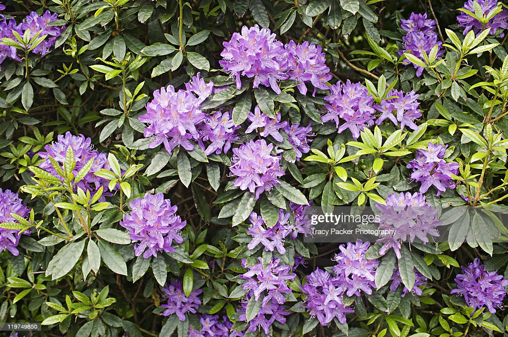 Violet flowers on large rhododendron shrub stock photo for Large flowering shrubs