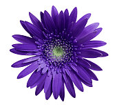 Violet gerbera flower on white isolated background with clipping path.   Closeup.  no shadows.  For design.  Nature.