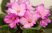 """""""Queen of houseplants"""" called uzambarskuyu violet for its ability to bloom all year round."""