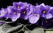 Violets, Close up